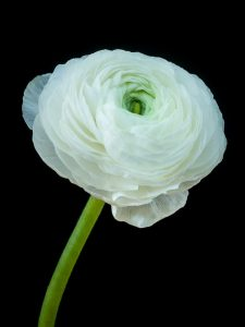 Ranunculus bloom in colour