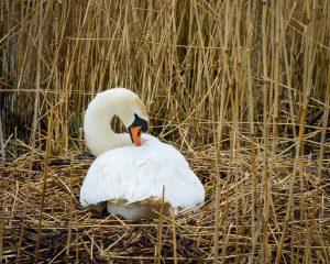 Swan nesting at Abbotsbury Swannery