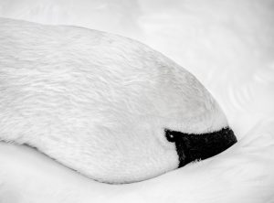 Portrait of a resting swan