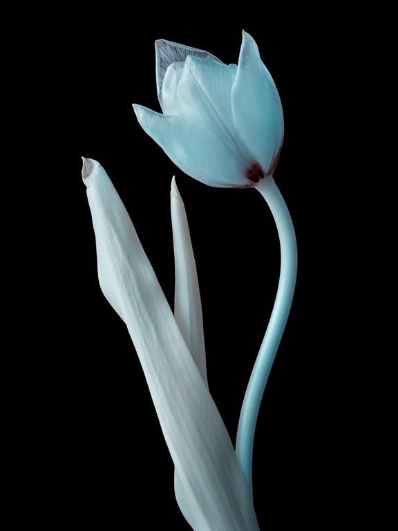 The tulip rendered in false colour