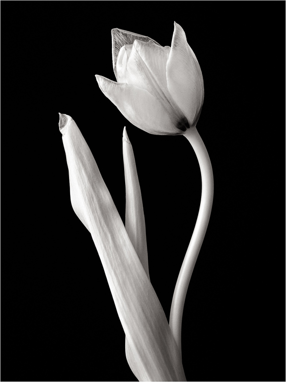 A faded tulip photographed in infrared