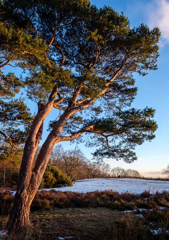 Another shot of the late afternoon light on the Scots Pines