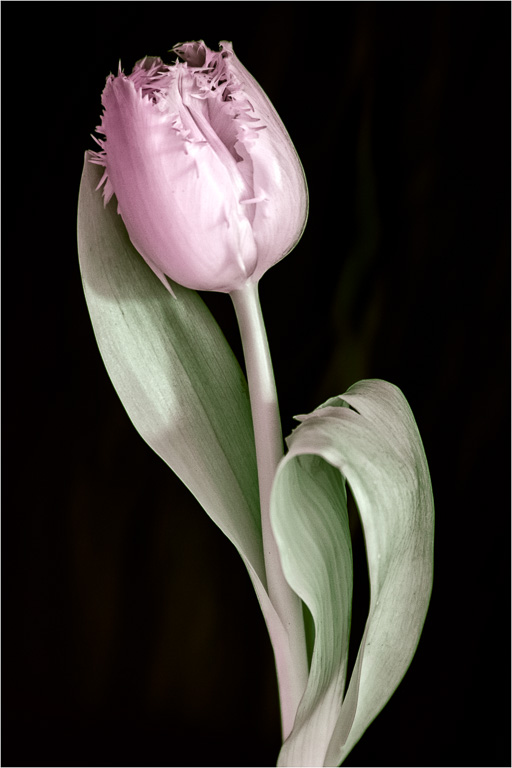 A tulip, but not all is as it seems