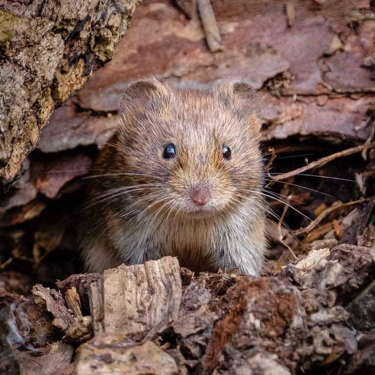A field vole, looking increedibly cute