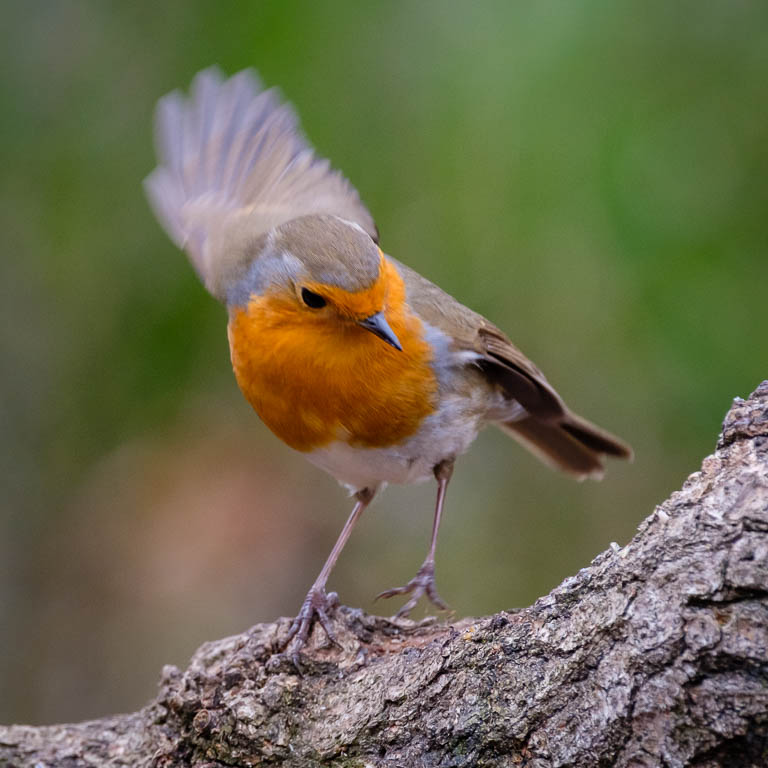 Not a goldfinch, but a robin taking flight